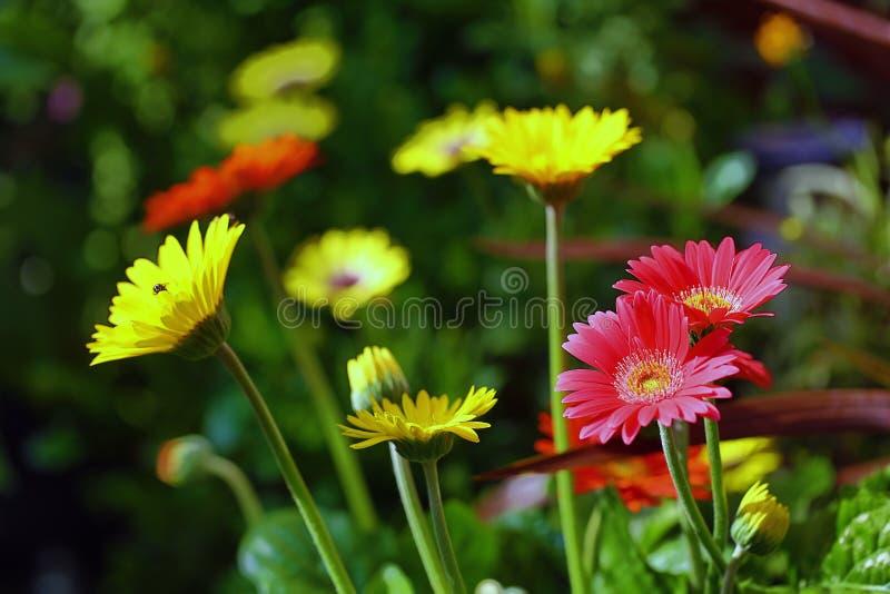 Schöne bunte Auswahl eines Betts der hell farbigen Gerbera-Blumen in voller Blüte stockfotografie
