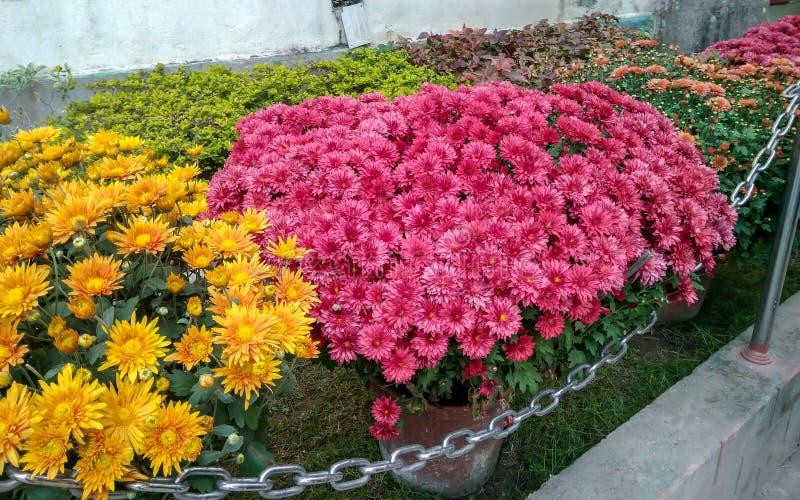 Schöne bunte Chrysanthemen-Blumen in einem Garten stockfotografie