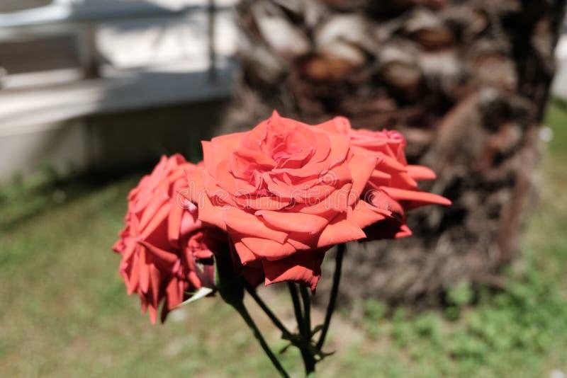 Schöne bunte rote Rose Flower lizenzfreies stockfoto
