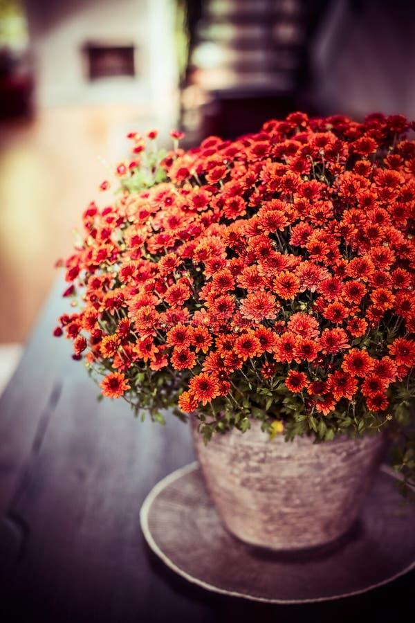Schöne Chrysanthemen blüht Bündel auf Abendtische am Wohnzimmerhintergrund Herbsthaus lizenzfreie stockfotografie