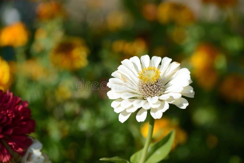 Schöne cynia Blume in einem Sommergarten stockfotografie