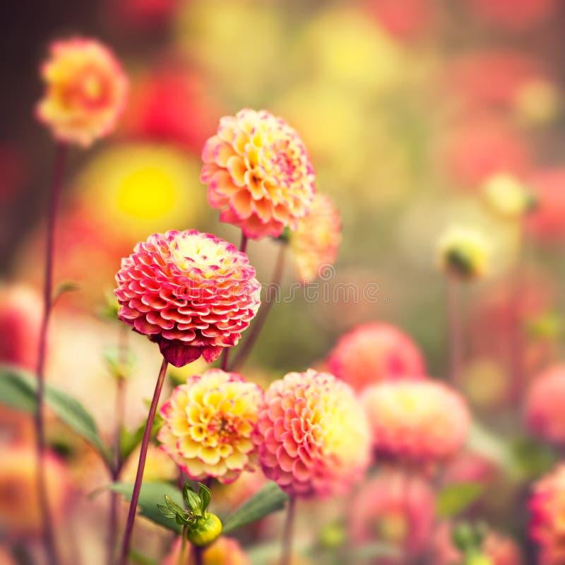 Schöne Dahlieblumen lizenzfreies stockfoto