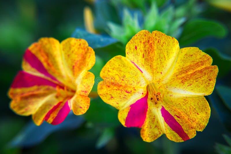 Schöne dekorative und heilende diuretische Mirabilisblumennahaufnahme lizenzfreie stockfotografie