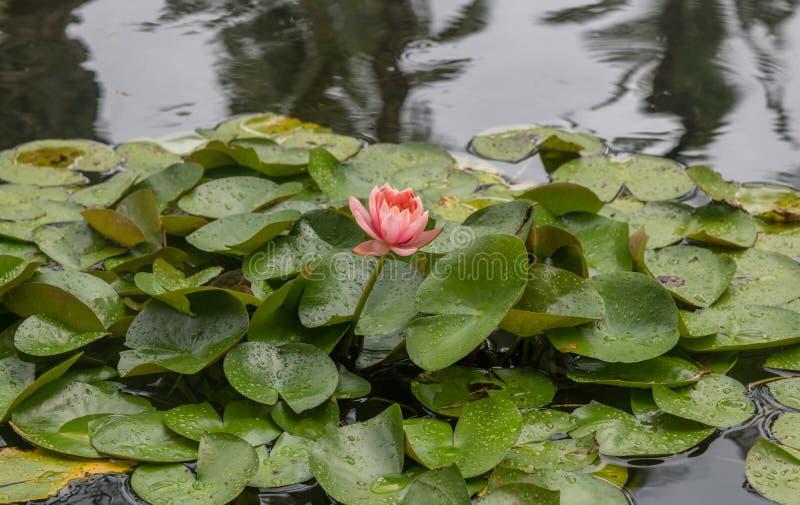 Schöne des Rosas Blume waterlily auf Oahu lizenzfreie stockfotos