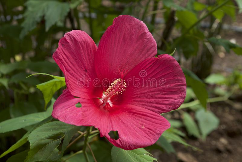 Schöne diese Hibiscuse moscheutos Blüte im Sommer stockfoto