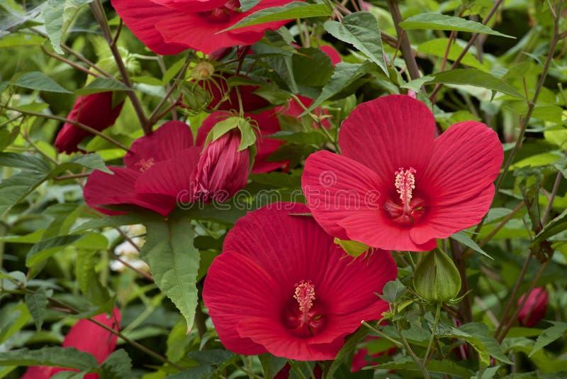 Schöne diese Hibiscuse moscheutos Blüte im Sommer stockfotografie