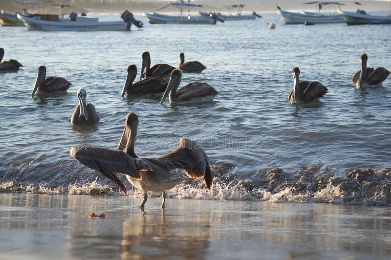 Schöne, dunkle Pelikane im Wasser bei Sonnenuntergang lizenzfreies stockfoto