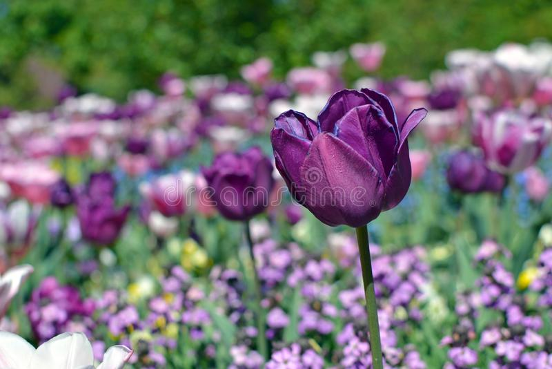 Schöne dunkle violette Tulipa Negrita-Tulpenblume auf dem Gebiet von Frühlingsblumen auf undeutlichem Hintergrund lizenzfreie stockbilder