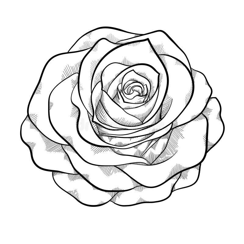 Schöne einfarbige Schwarzweiss-Rose lokalisiert auf weißem Hintergrund lizenzfreie abbildung