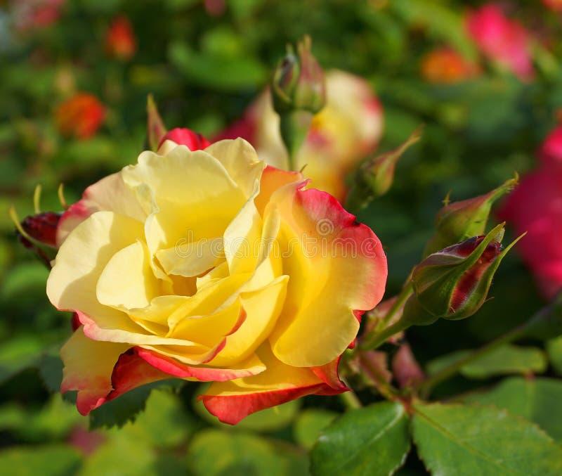 Schöne einzelne rosafarbene Blume mit den Knospen auf buntem Sonnenabschluß des Hintergrundes morgens oben stockfoto