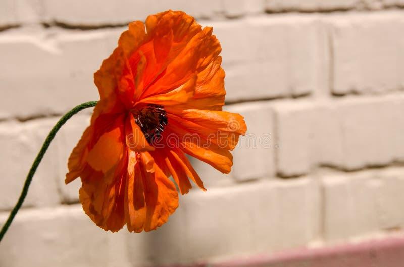 Schöne einzelne rote Mohnblumenblume nahe bei Gartenwand an einem heißen Sommertag lizenzfreie stockbilder