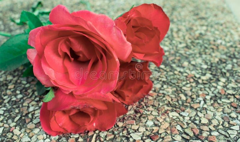 schöne einzelne Rotrose auf weißem Hintergrund lizenzfreies stockfoto
