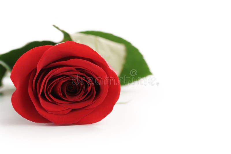 Schöne einzelne Rotrose auf weißem Hintergrund mit Kopienraum lizenzfreies stockbild