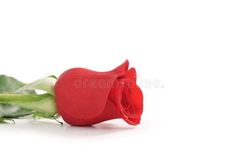 Schöne einzelne Rotrose auf weißem Hintergrund mit Kopienraum stockbild