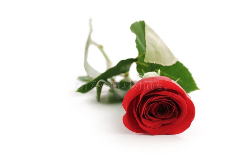 Schöne einzelne Rotrose auf weißem Hintergrund mit Kopienraum lizenzfreies stockfoto