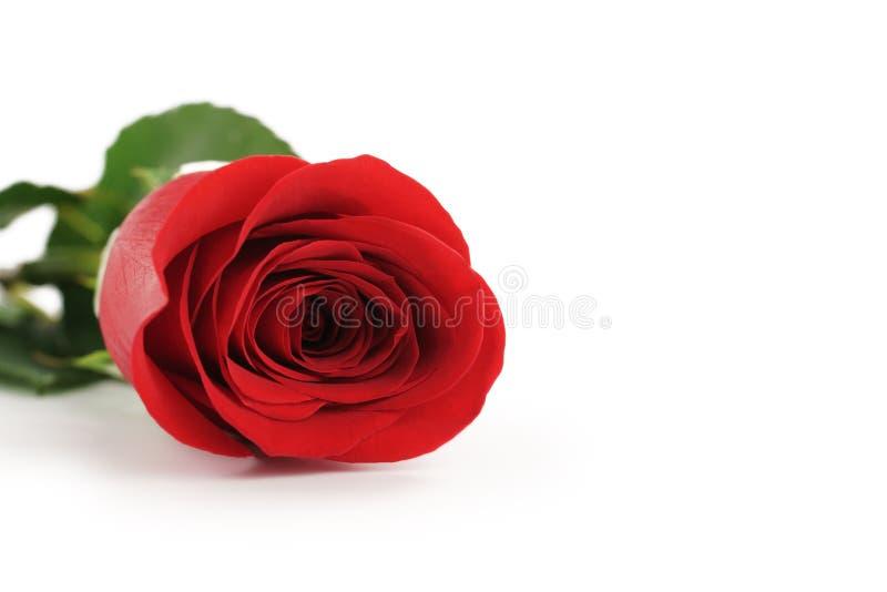 Schöne einzelne Rotrose auf weißem Hintergrund mit Kopienraum lizenzfreie stockfotos