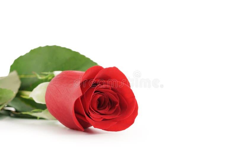 Schöne einzelne Rotrose auf weißem Hintergrund mit Kopienraum stockbilder