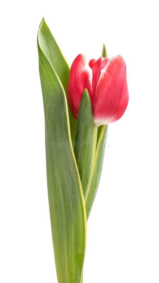 Schöne einzelne Tulpe lizenzfreie stockfotografie
