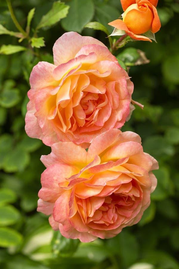 Schöne, empfindliche bunte Rosen im Garten Blühende orange englische Rosen an einem sonnigen Tag stockfoto