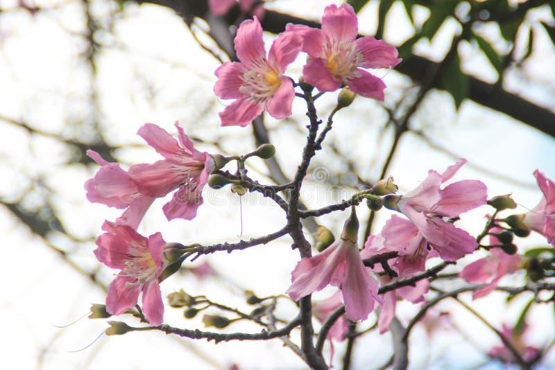 Schöne empfindliche rosa große Blumen Chorisia oder Ceiba speciosa, das auf einem Baum wächst, dessen Barke bedeckt wird lizenzfreies stockbild
