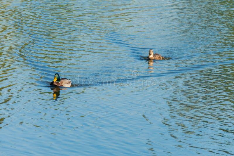 Schöne Enten, die auf die Wasseroberfläche des Teichs schwimmen, als ob, einholend funkelnd in der Sonne mit stockbilder