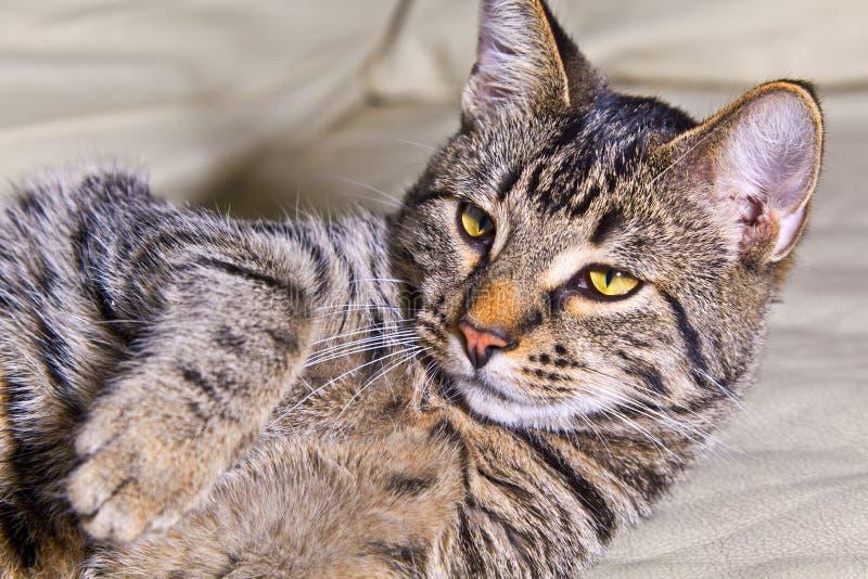 Schöne europäische Katze stockfotografie