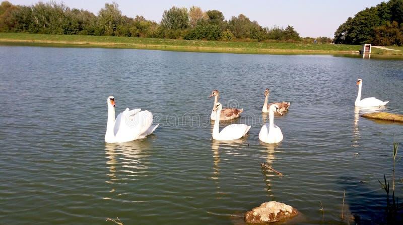 Schöne Familie von Schwänen auf dem See stockfotos