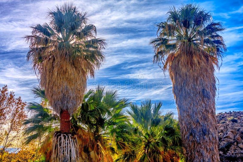 Schöne Fan-Palmen in Joshua Tree lizenzfreie stockbilder