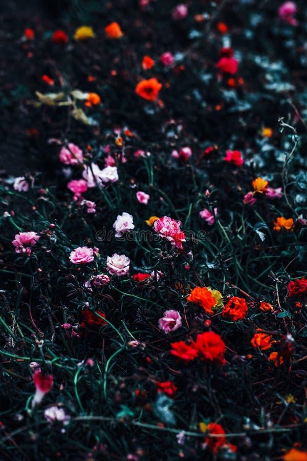 Schöne feenhafte träumerische magische gelbe rote rosa Blumen mit dunkelgrünen Blättern hält auf Feld draußen auf lizenzfreie stockfotos