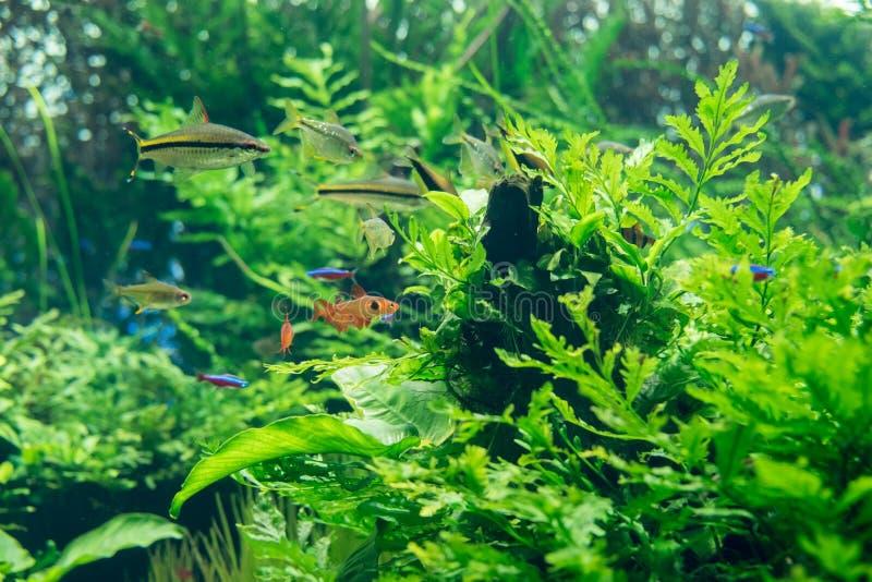Schöne Fische und Grünpflanzen am Frischwasseraquarium stockbild