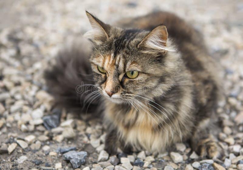 Schöne flaumige europäische Katze lizenzfreies stockbild
