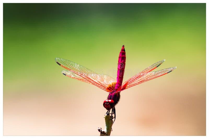 Schöne Fotografie marco Hintergrund der Libelle lizenzfreies stockfoto