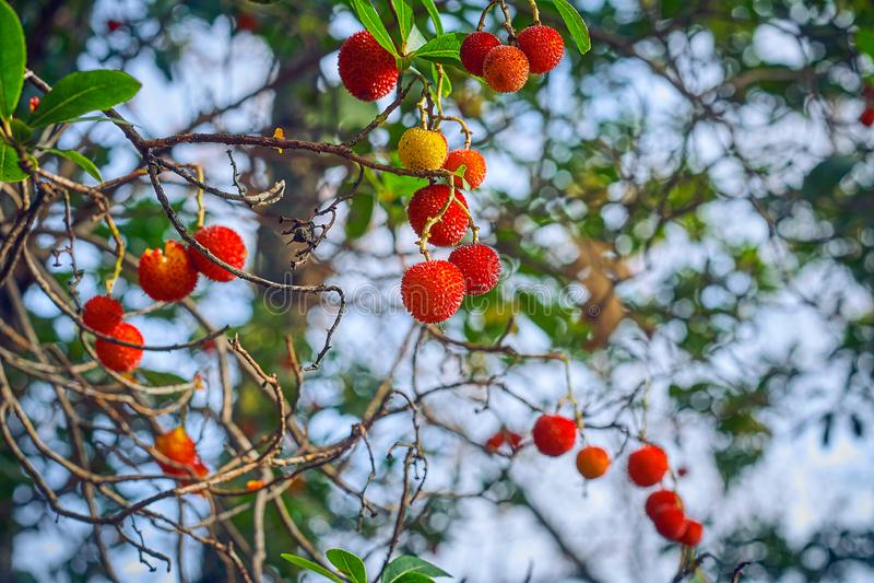 Schöne Früchte des Erdbeerbaumes oder des Arbutus unedo Baums, die Früchte sind gelb und mit rauer Oberfläche rot lizenzfreies stockbild