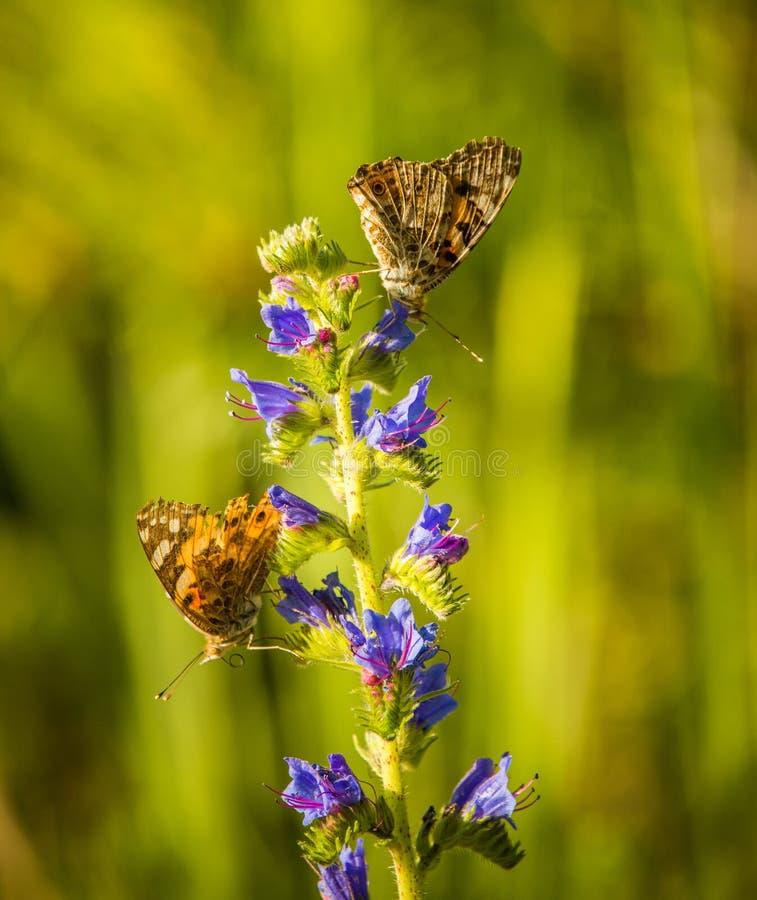 Schöne Frühlingsblumen in einer hölzernen Klärungswiese mit Schmetterling auf ihm stockfotografie