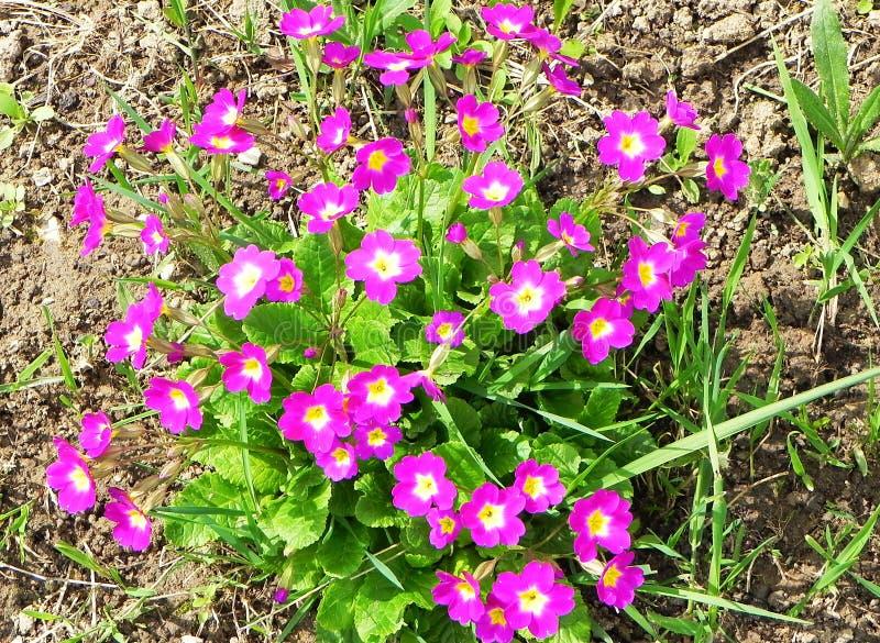Schöne Frühlingsblumen nach Winterschlaf lizenzfreies stockfoto