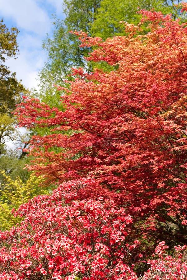 Sch?ne Fr?hlingsfarben von Acer und von Rhododendron stockfotos
