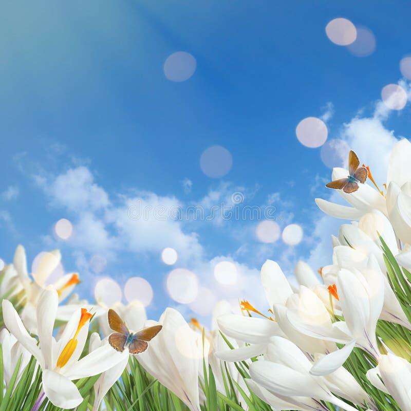 Schöne Frühlingskrokusblumen und fliegende Schmetterlinge gegen blauen Himmel lizenzfreie stockfotografie