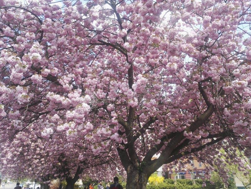 Schöne Frühlingsrosa-Kirschbaumblüte in Prag lizenzfreies stockfoto