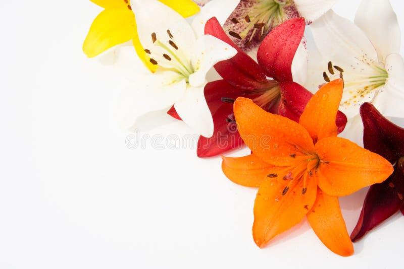 Schöne frische Blumen Weichheit und angenehmer Geruch Garten-Lilien stockfotografie