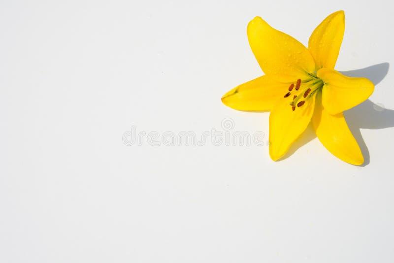 Schöne frische Blumen Weichheit und angenehmer Geruch Garten-Lilien lizenzfreies stockfoto