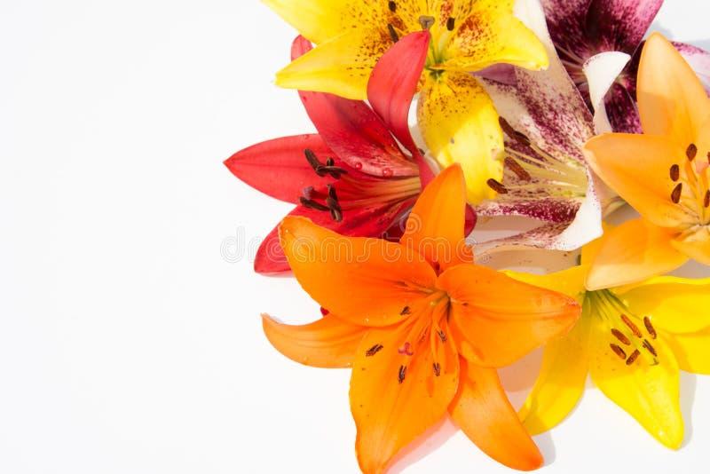 Schöne frische Blumen Weichheit und angenehmer Geruch Garten-Lilien lizenzfreies stockbild