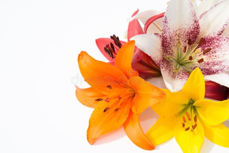Schöne frische Blumen Weichheit und angenehmer Geruch Garten-Lilien stockbilder