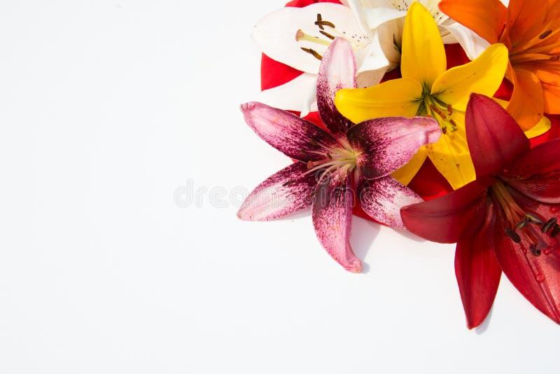 Schöne frische Blumen Weichheit und angenehmer Geruch Garten-Lilien stockfotos