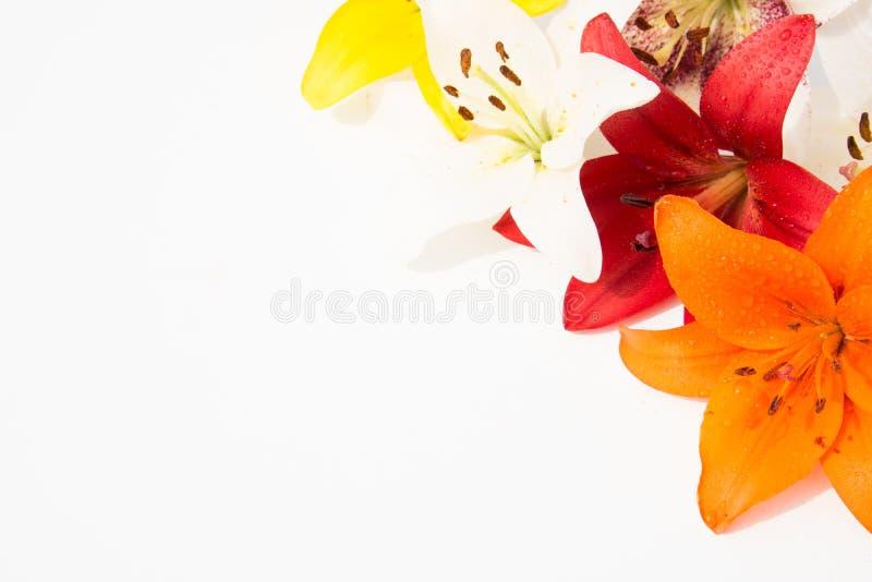 Schöne frische Blumen Weichheit und angenehmer Geruch Garten-Lilien lizenzfreie stockbilder
