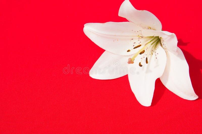 Schöne frische Blumen Weichheit und angenehmer Geruch Garten-Lilien Roter Hintergrund stockfotos