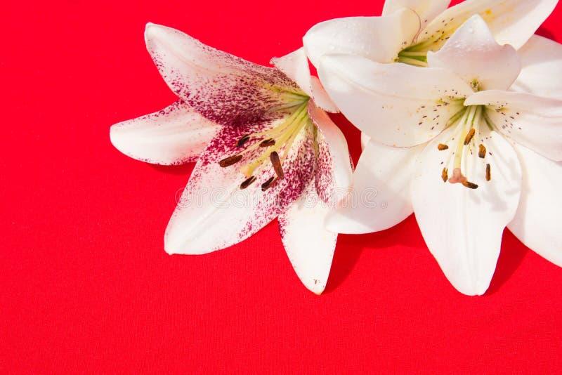 Schöne frische Blumen Weichheit und angenehmer Geruch Garten-Lilien Roter Hintergrund lizenzfreie stockbilder