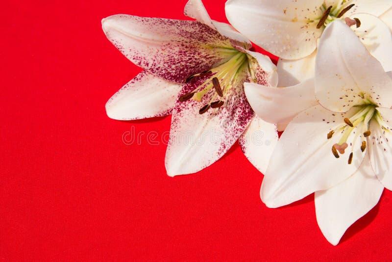 Schöne frische Blumen Weichheit und angenehmer Geruch Garten-Lilien Roter Hintergrund stockfoto