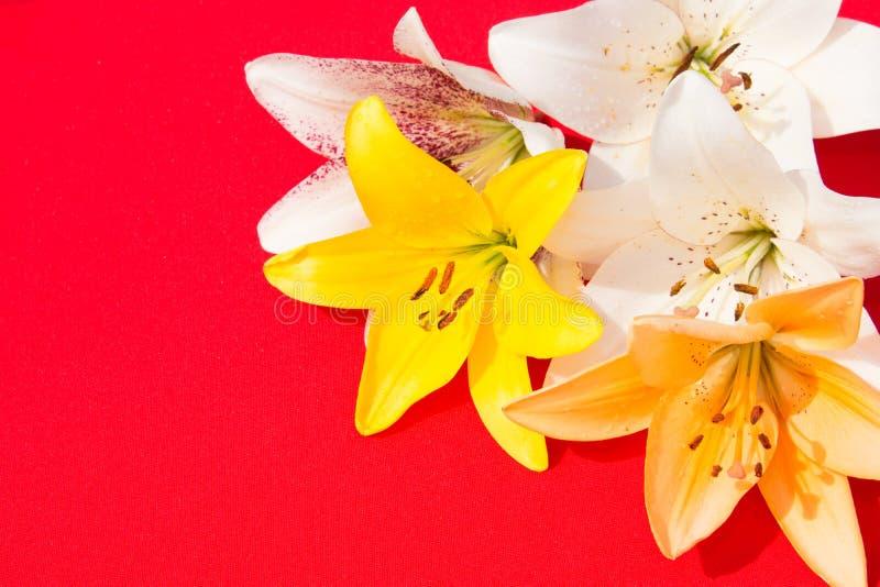 Schöne frische Blumen Weichheit und angenehmer Geruch Garten-Lilien Roter Hintergrund stockbild