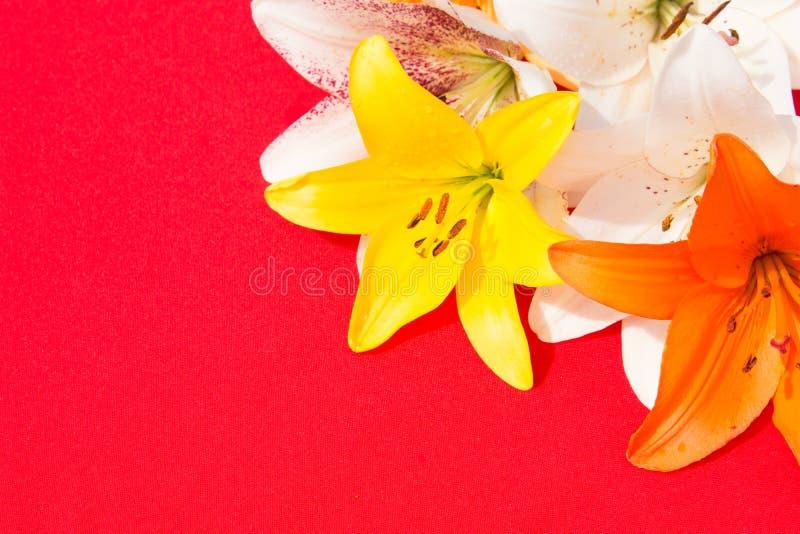 Schöne frische Blumen Weichheit und angenehmer Geruch Garten-Lilien Roter Hintergrund lizenzfreies stockbild