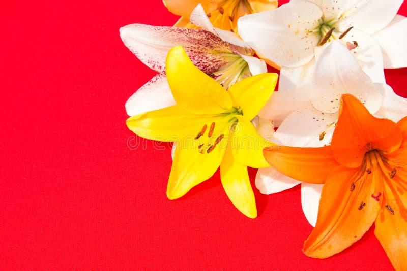 Schöne frische Blumen Weichheit und angenehmer Geruch Garten-Lilien Roter Hintergrund stockbilder
